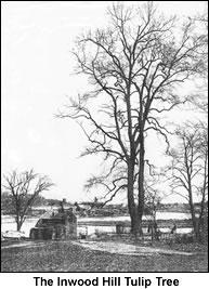 The Inwood Hill Tulip Tree